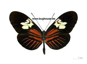 Heliconius Melpomene (Peru) ♂︎