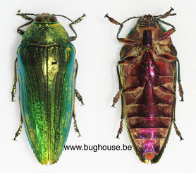 Callopistus Castelnaudi (Malaysia) ♂︎/♀︎