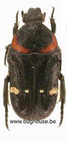 Glycyphana Scutella (Sumatra) ♂︎/♀︎