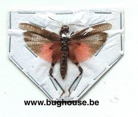 Orthoptera sp. (Java) ♂︎/♀︎ **SPREAD**