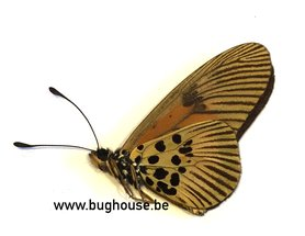 Acraea Orinata (RCA)  ♂︎