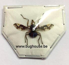 Diptera sp. (Java) ♂︎ **SPREAD**