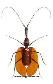 Mormolyce phyllodes (Malaysia)♂︎/♀︎