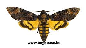 Acherontia Atropos (Death head hawk moth)