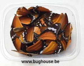 Orange butterfly wings for art work