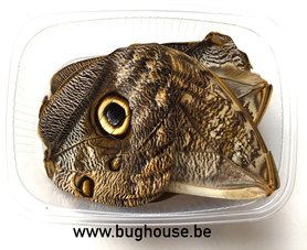 Caligo butterfly wings for art work