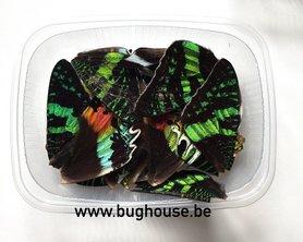 Urania butterfly wings for art work