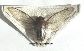Dundubia Spiculata (Thailand)