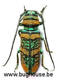 Anatragus Pulchellus (Afrika)