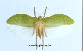 Pseudophyllus hercules FEMALE (Malaysia)