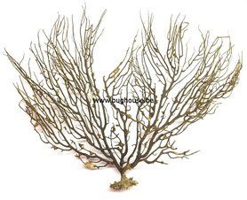 Black sea Fan -LARGE 2 -