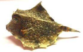 Dried cowfish -small 1-