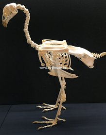 Cock skeleton (Red Jungle fowl)