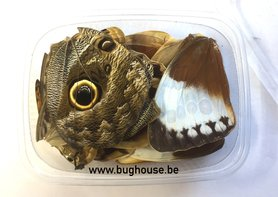 Big butterfly wings for art work