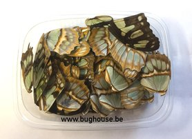 Siproeta Stelenes butterfly wings for art work