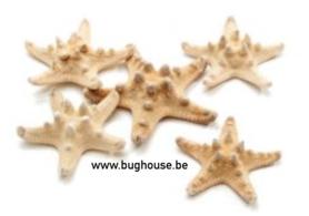 Philippine starfish (natural color)