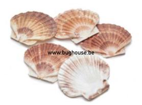 Scallop shell (flat)