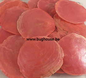 Capiz dia shells RED (10-15 pieces)