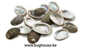 Haliothis Pulcherrima shells