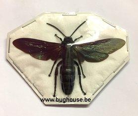 Scoliidaea Sp (Peleng)