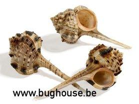 Murex Haustellum shell