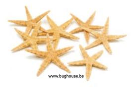 Sugar starfish (Natural) Small