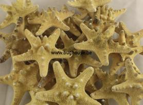 Starfish Rhinoceros (Natural)