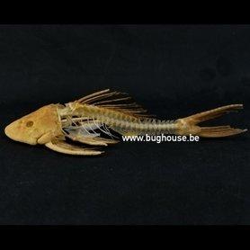 Suckermouth catfish skeleton