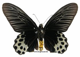 Athropaneura Shycorax (Sumatra) ♀︎