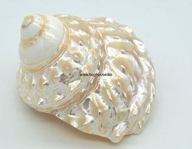 Astrea Undosa shell 8cm