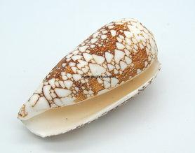 Conus Omaria shell 5 cm