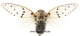 Ayuthia spectabilis (Thailand) ♂︎ WINGS OPEN