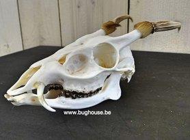 Muntjak skull 100% complete