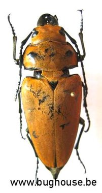 Trictenotoma westwoodi (Sulawesi) ♂︎