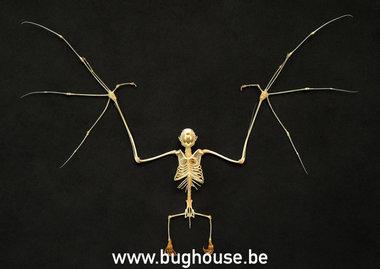 Cynopterus minutus skeleton