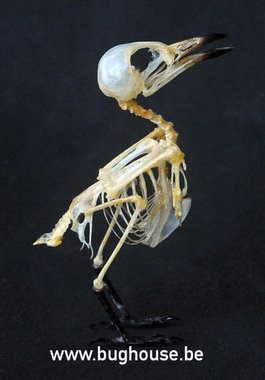 Small Minivet bird Skeleton (Indonesia)
