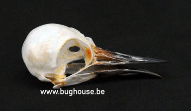 Freckle-breasted Woodpecker Skull (Indonesia)