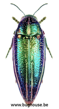 Amblysterna Natalensis (Tanzania) PAAR ♂︎+♀︎