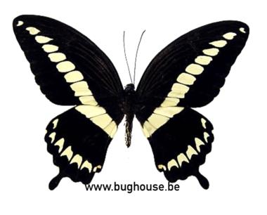 Papilio Gigon Gigon (Sulawesi)
