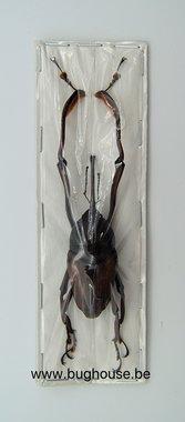 Curculionidae sp. (Java)