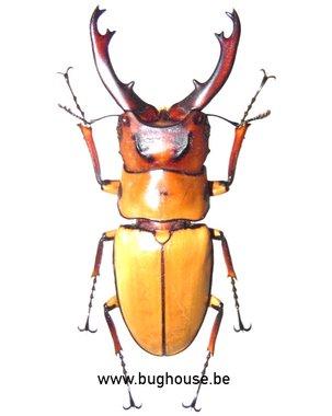 Prosopocoilus occipitalis (Java)