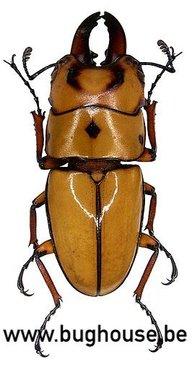 Prosopocoilus occipitalis (Java) Male/short horn