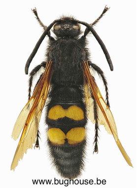 Megascolia Maculata Flavifrons (France)