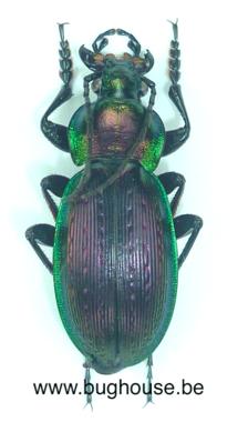 Carabus Monilis (France) ♀︎