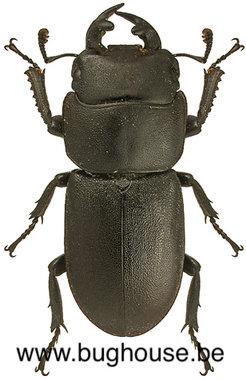 Dorcus parallelipipedus (France) ♂