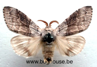 Calliteara pudibunda L. (France)♂︎