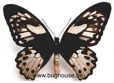 Ornithoptera Priamus poseidon ♀︎  (indonesia)  **cites**