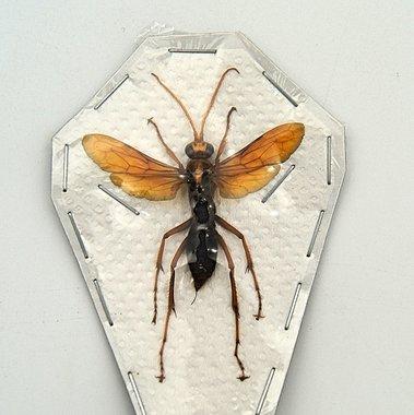 Wasp sp2. (Java) ♂︎/♀︎ **SPREAD**