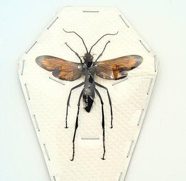 Wasp sp5. (Java) ♂︎/♀︎ **SPREAD**