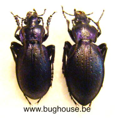 Mesocarabus problematicus n.solutus (France) ♂︎+♀︎